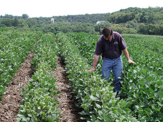 Soybean field infested with soybean aphid