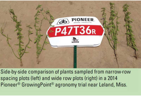 Side-by-side comparison of plants sampled from narrow-row spacing plots (left) and wide row plots (right) in a 2014 Pioneer® GrowingPoint® agronomy trial near Leland, Miss.