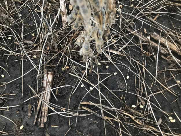 Photo showing soybeans that have fallen to the ground after the pods ruptured.