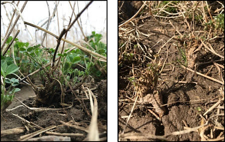 Frost heaving around alfalfa root.