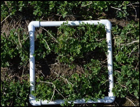 A square foot made out of PVC pipe is useful for assessing alfalfa fields.