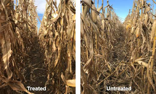 Comparison photos - differences in stalk strength and standability associated with fungicide treatment in corn.