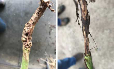 Galls on a soybean stem due to gall midge infestation (left). Stem girdling resulting from prolonged feeding (right).