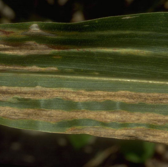 Stewart's bacterial blight lesions