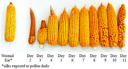 Estimating grain yield when incomplete pollination occurs.
