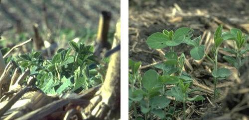 No-till soybeans emerging in previous corn residue.