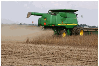Timely harvest of soybeans is important in minimizing harvest losses.
