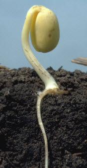 VE Soybean Stage: Emergence