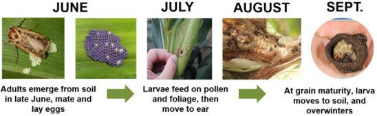 Western Bean Cutworm Annual Life Cycle in Corn