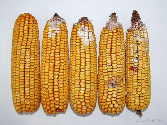 Western bean cutworm damage to ears.
