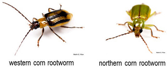 Western Corn Rootworm beetle / Northern Corn Rootworm beetle