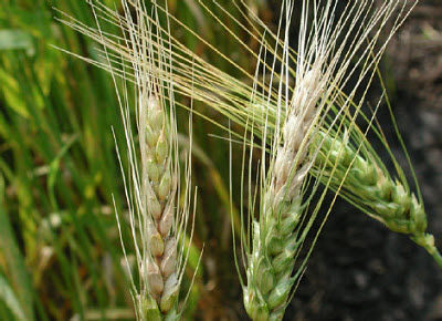 Wheat infected by Fusarium head blight (head scab)