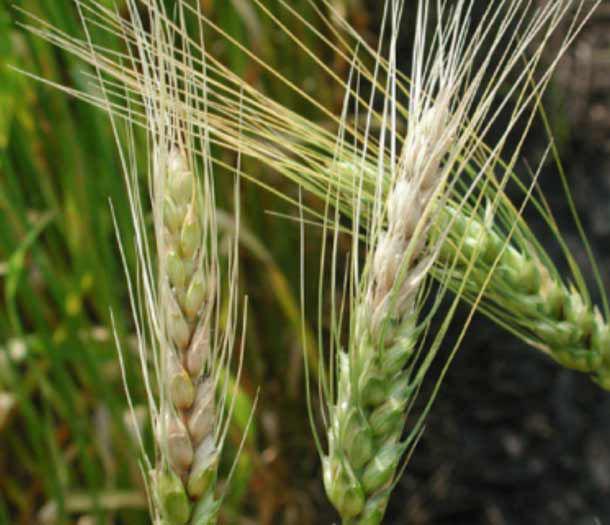 Photo of wheat field.