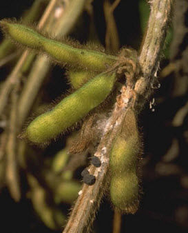 Photo showing white mold infection on soybean stem.