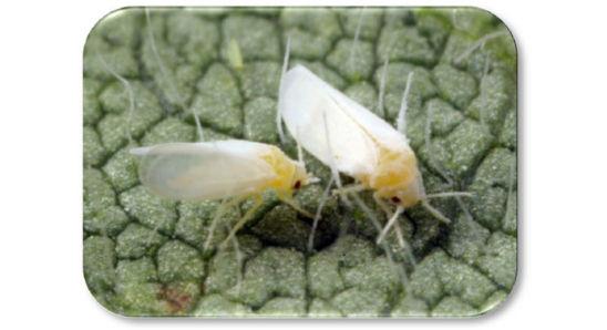 Adult silverleaf whiteflies
