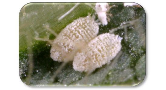 Whitefly nymphs