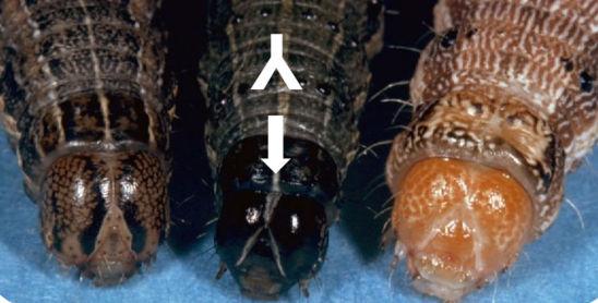 Armyworm, Fall Armyworm, Corn Earworm