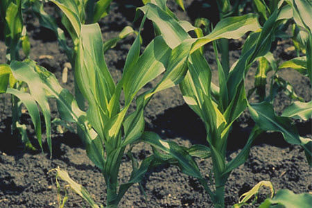 Zinc-deficient corn plants show general chlorosis of new growth as well as longitudinal bands on some leaves.