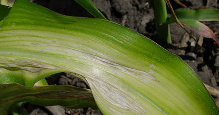 Severe zinc deficiency in V12 corn plant.